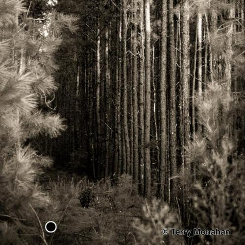 Pine Forest Scene. Conway, SC.